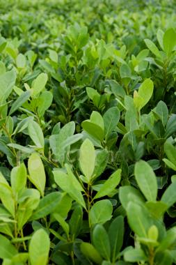 Yerba Mate - Guayaki Organic Yerba Mate