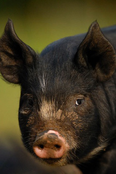 Berkshire or Kurobuta Pig