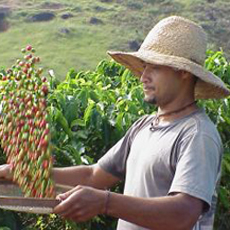 Man harvesting coffee beans