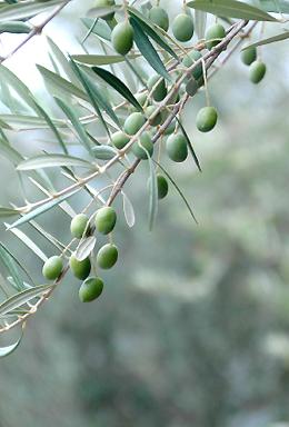 Terra Medi Bruschetta, Olives, Olive Oil, Tapenade& Vinegar
